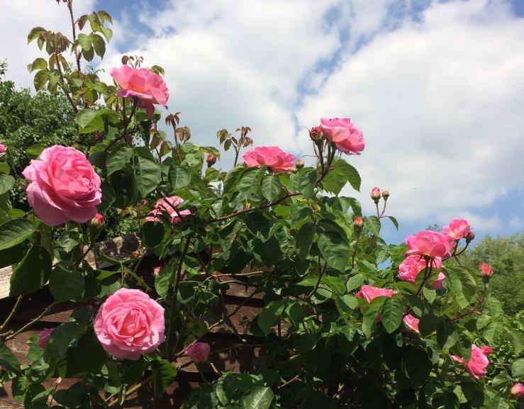rosesandsky